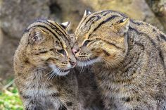 Fishing Cats 013112cc by jt893x on Flickr.    #Nature#Photo