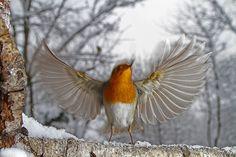 Sono io il più bello! (Pettirosso) ---------- 📸 Dante Alpe #myvalsusa #fotodelgiorno 1820 - 24 dicembre 2020 Bird, Animals, Art, Animales, Animaux, Birds, Animal, Animais