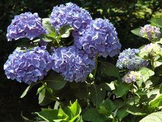 All Summer Beauty Hydrangea | ... season the endless summer also known as all summer beauty hydrangea