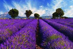 (7) Fancy - Lavender Field, Provence, France