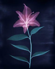 Brendan Fitzpatrick Art Pharmacy X-Ray of a Lily Inverted.jpg