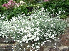 Hopeahärkki – Cerastium tomentosum (silverarv) Vaaleanharmaanukkainen hopeahärkki säilyy vehreänä lumen alla kevääseen. Hopeahärkki viihtyy kaikenlaisilla kuivilla ja niukkaravinteisilla mailla jopa kasvualustassa, joka on vain viiden sentin syvyinen. Korkeus: 10–20 cm. Kasvutapa: Mattomainen hopeahärkki leviää pitkillä maanpintaan juurtuvilla versoilla. Kukinta: Kesä–heinäkuussa lumivalkoiset kukat.Kasvupaikka: Aurinko–puolivarjo. Kasvualusta kuiva ja vähäravinteinen. White Gardens, Small Gardens, Outdoor Gardens, Landscaping Plants, Balcony Garden, Dream Garden, Perennials, Summertime, Yard