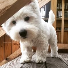 Hugo is a fearless adventurer and escape artist! Can vault across furniture, climb anything & is always looking for a getaway. Westie Puppies, Westies, Cute Puppies, Cute Dogs, Dogs And Puppies, Doggies, Animals And Pets, Baby Animals, Funny Animals
