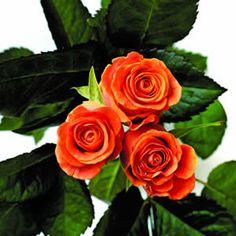 Growing Mini Roses Indoors