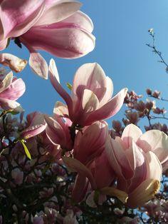 Tavasz - Magnólia/Spring - Magnolia