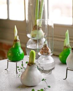 Eye-catching amaryllis bulbs dipped in colored wax mark a new holiday trend. Details: http://www.midwestliving.com/garden/flowers/easy-and-elegant-amaryllis-displays/