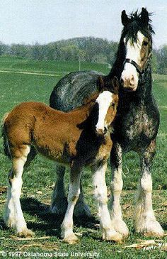 Clydesdales - love them.