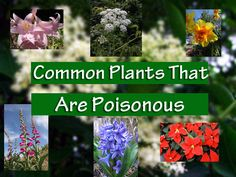 Did you know some common plants in our gardens and backyards are poisonous to us, especially children? See if you have any of these plants around your home.