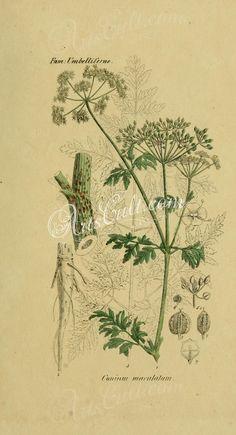 conium maculatum      ...