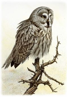 Great Gray Owl drawing
