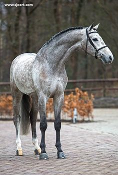 Dapple Grey Warmblood