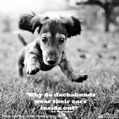 """Why do dachshunds wear their ears inside out?"" ― P.G. Wodehouse 