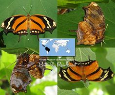 Tiger Leafwing | Consul fabius | Family: Nymphalidae | Subfamily: Charaxinae | Tribe: Anaeini | Wingspan: 2.5 to 3.0 in | Photos © Florida Museum, by Ryan G. Fessenden