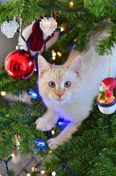 Cats celebrating Christmas.
