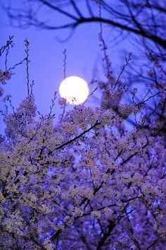 Purple Moon and cherry blossom, sakura pink flower nature eco beautiful places landscape travel natura peisaj