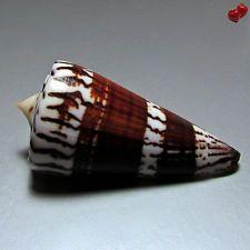 Conus generalis, Mactan Isl., Philippines, 68,2 mm, DARK