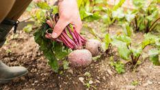 Fotó: Thinkstock Future City, Garden Tools, Vitamins, Fruit, Outdoor, Food, Recipes, Turmeric, Health