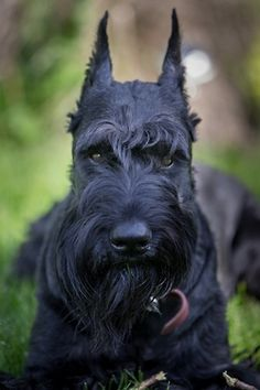 Giant Schnauzer... The very biggest of the 3 Schnauzer dog breeds, the other 2 breeds being the miniature schnauzer and standard schnauzer. These big dogs are strong-willed and an amazing guard dog! Children 12 years and older are most appropriate for this big and active dog breed. This dog is a less than average shedder, but might take some time to be groomed. Intelligent, but can be tough to train for an inexperienced trainer.