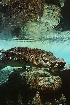 Crocodile.