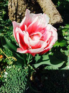 #garden#spring#nature#pink#tulip#love#<3#:)#Hungary#green
