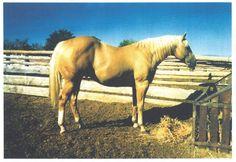 Skipa Select, 1984 pal. stallion, (Skips Barber  x Skipacita by Skips Supreme). Breeder: H. J. Wiescamp. Sire of the prominent sires, Skippers Shem and So Select.