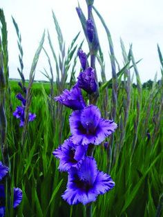 Wish  List: Gladiolus: Passos. Not perennial in Zone 7