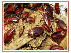 Yuck. Cockroaches are dirty, endless hunter which can be unaffected by using radiation. In a post-apocalypti international, it is going to be those grimy little critters that survive. We'd be better off without them. Q