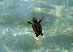 Learn about sea turtle migration here: http://www.seeturtles.org/1895/sea-turtle-migration.html (Photo Credit: Mary Wozny)