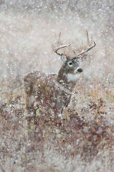White-tailed Deer Buck (Odocoileus virginianus) on a cold, wet, snowy November day. Photo: Tom and Pat Leeson. Beautiful Creatures, Animals Beautiful, Cute Animals, Bambi, Photo Animaliere, Whitetail Bucks, Mule Deer, Oh Deer, Tier Fotos