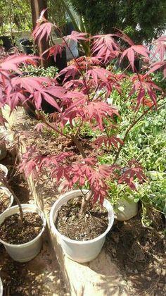 Một rừng phong lá đỏ