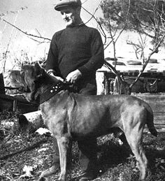 The Neapolitan Mastiff of a half-century ago is almost unrecognizable today, says Nicola Imbimbo. Modern Molosser | www.modernmolosser.com