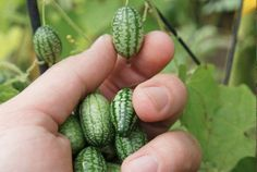Cucamelons- taste like a cucumber with a hint of lime- easy to grow like  a cucumber but about the size of a grape tomato