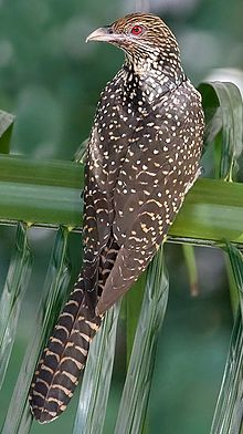 The Asian Koel is a member of the cuckoo order of birds.....