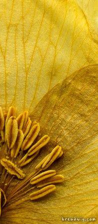 Yellow Flower Center showing stamens