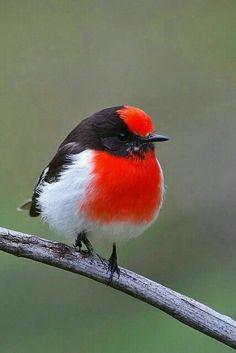 Redpoll, winter finch