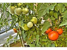 El Cultiu de la Tomaca