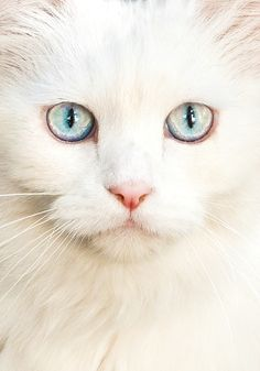 Mel Cat tumblr.. opal eyed white cat... ~ had a Burmese with opal eyes... miss her