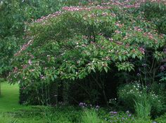 DSCN4289 Mien Ruys Hoektuin - Clerodendrum trichotomum 2 | Flickr - Photo Sharing!