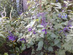 Mooie paarse Salvia.