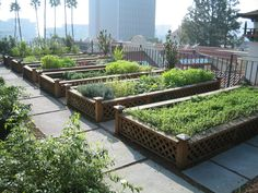 Cultivos orgânicos em bairro e San Francisco (EUA). Mudanças na legislação municipal permitiram o surgimento de pequenas fazendas produtivas em vários bairros da cidade. Foto: Fernando Angeoletto