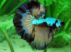Awesome looking betta