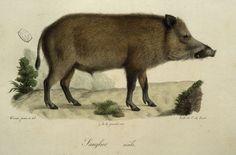Male Boar