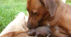 """Um cachorro faz carinho em um filhote de porco vietnamita. A amizade é retratada no livro """"Unlikely Friendships"""""""