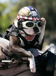 'Roll in' Down the HighWay...', French Bulldog on a Harley.