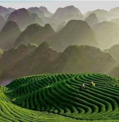 tea fields China