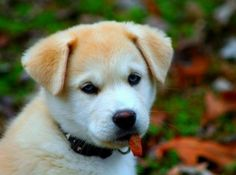 Husky X Labrador Puppies Husky Lab Mixes, Cute Puppies, Cute Dogs, Dogs And Puppies, Labrador Puppies, Retriever Puppies, Doggies, Cute Animal Pictures, Dog Pictures