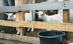 moje malé veľké radosti Ciabatta, Goats, Goat