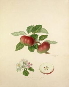 Red Quarenden Apple by William Hooker