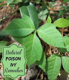 Leaves of three...leave them be. But what do you do if you get a case of poison ivy? See my natural remedies.