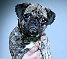 Rylo, un cariacontecido perrito pug, fue elegido como el animal más fotogénico del Reino Unido.